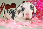 Energetic Great Dane puppies available now for home adoption