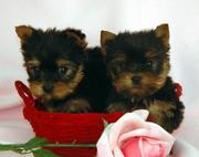 CUTE AND LOVELY TEACUP YORKIE PUPPIES FOR ADOPTION, (tracyjons23@yahoo.